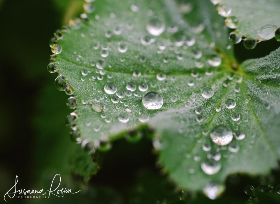 diamonds or dew 1